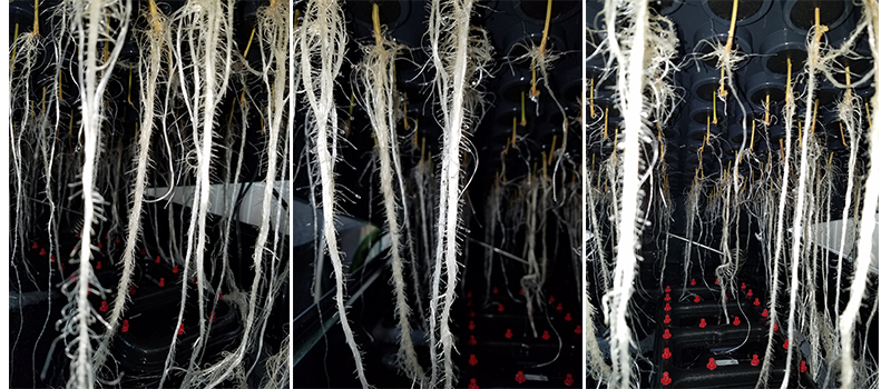 roots-direct-output-budgrowth-plant-nutrient.jpg